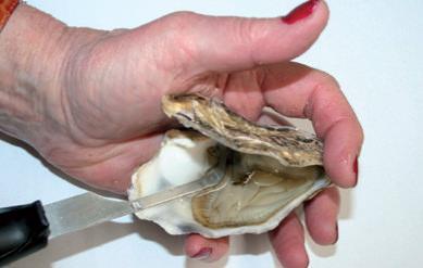 oesters zijn zo geopened